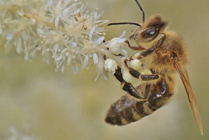 abeja madre